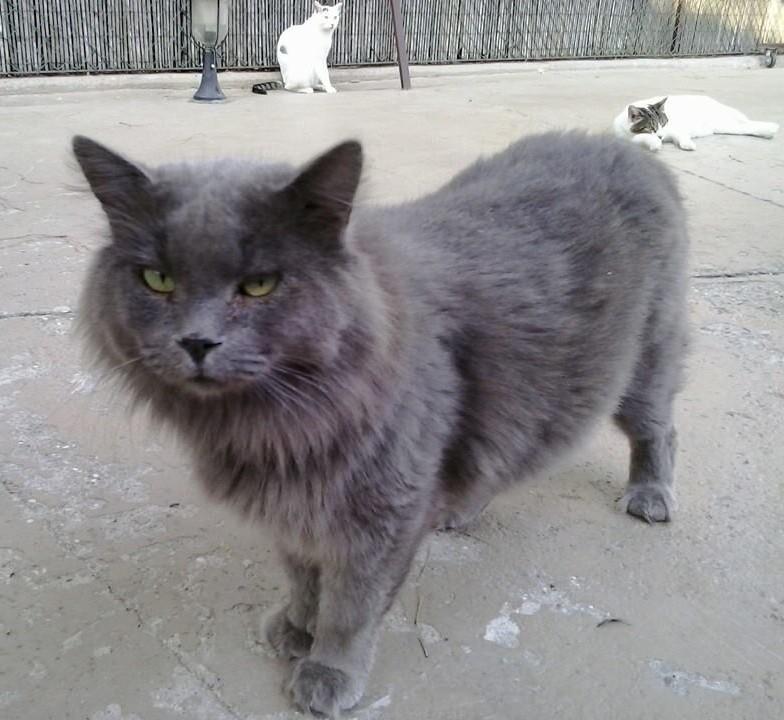 Silver, stupendo gattone che Azalea ha salvato dal rifugio lager Parrelli